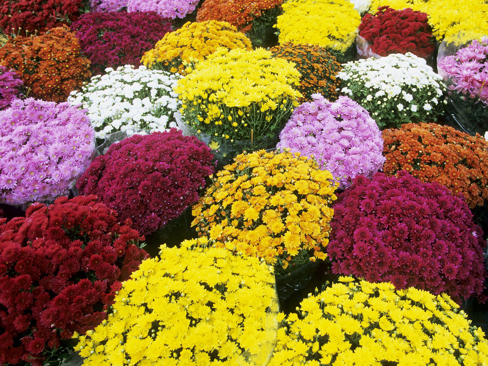 Fall Mum Flower Sale Henry Ford Ii Instrumental Music Boosters